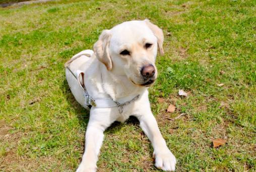 盲導犬育成支援